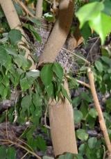<h5>Das Nest in unserer Birkenfeige.</h5>