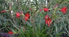 <h5>Amaryllis im Schatten des Oleanders.</h5>