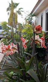<h5>Amaryllis im Duett mit Aloeblüten.</h5>
