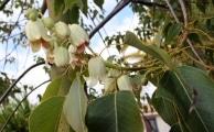 <h5>Ein Ensemble kleiner Niembaumblüten.</h5>