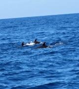 <h5>Eine Delfinfamilie beim Atlantikspaziergang.</h5>