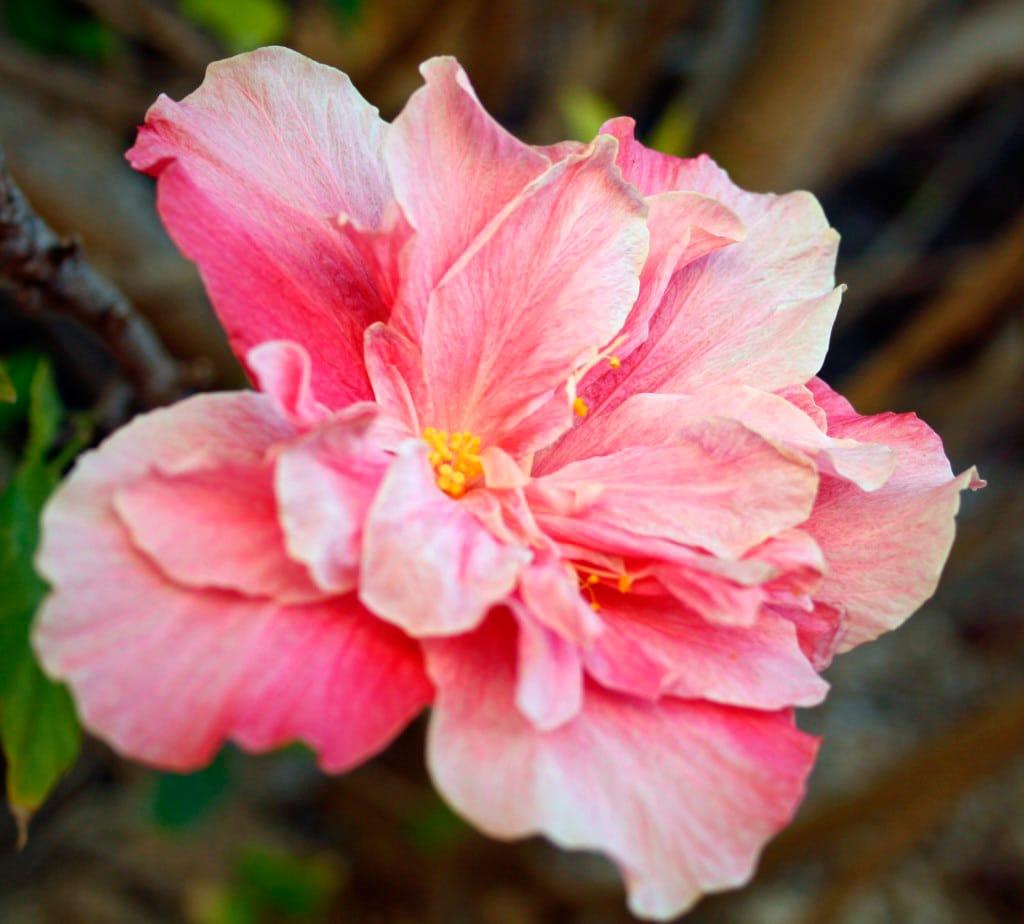hibisco01